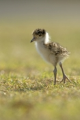 Lapwings & Plovers & Dotterels