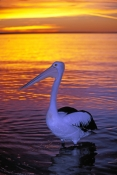 australian-pelican-picture;australian-pelican;pelican;pelecanus-conspicillatus;pelican-sleeping-on-beach;pelican-sleeping-beside-the-water;pelican-sleeping;bird-sleeping;sleeping;steven-david-miller;monkey-mia;shark-bay;western-australia;natural-wanders;sun-set;sunset;setting-sun