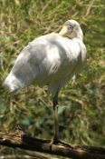 yellow-billed-spoonbill-picture;yellow-billed-spoonbill;yellow-billed-spoonbill;australian-spoonbill