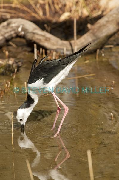 long legs;bird with long legs;stilt;black winged stilt;himantopus himantopus;pied stilt;alice springs desert park;bird foraging