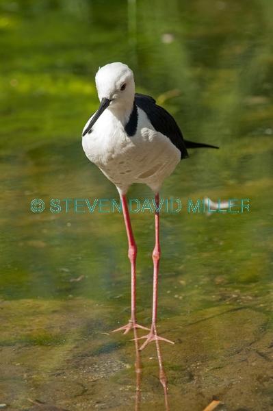 long legs;bird with long legs;stilt;black winged stilt;himantopus himantopus;pied stilt;alice springs desert park