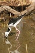 long-legs;bird-with-long-legs;stilt;black-winged-stilt;himantopus-himantopus;pied-stilt;alice-springs-desert-park;bird-foraging