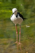 long-legs;bird-with-long-legs;stilt;black-winged-stilt;himantopus-himantopus;pied-stilt;alice-springs-desert-park