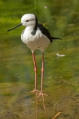 bird-with-long-legs;stilt;black-winged-stilt;himantopus-himantopus;pied-stilt;alice-springs-desert-park