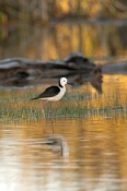 black-winged-stilt-picture;black-winged-stilt;black-winged-stilt;black-and-white-stilt;stilt;australian-stilt;himantopus-himantopus;muloorina-station;outback-wetland;bore-wetland;oodnadatta-track;south-australia;outback;steven-david-miller;naturalwanders
