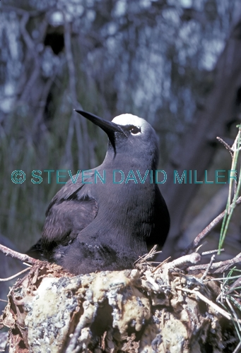 black noddy picture;black noddy;white-capped noddy picture;white-capped noddy;white capped noddy;white cap noddy;australian noddy;black noddy on nest;lady elliot island;coral cay;barrier reef island;great barrier reef;queensland;steven david miller;natural wanders