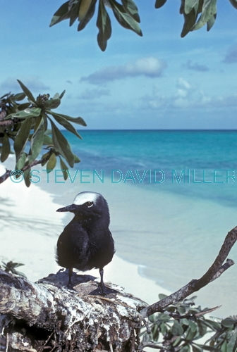 black noddy picture;black noddy;white-capped noddy picture;white-capped noddy;white capped noddy;white cap noddy;australian noddy;black noddy chick;white-capped noddy chick;noddy chick on nest;heron island;coral cay;barrier reef island;great barrier reef;queensland;steven david miller;natural wanders