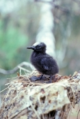 black-noddy-picture;black-noddy;white-capped-noddy-picture;white-capped-noddy;white-capped-noddy;white-cap-noddy;australian-noddy;black-noddy-chick;white-capped-noddy-chick;noddy-chick-on-nest;lady-elliot-island;coral-cay;barrier-reef-island;great-barrier-reef;queensland;steven-david-miller;natural-wanders
