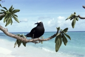 ANOUS-MINUTUS;AUSTRALIA;BEACHES;BIRDS;LANDSCAPES;NODDY-TERN;PORTRAITS;SEABIRDS;Sternidae;TERNS;TROPICAL;VERTEBRATES;black-noddy;white-capped-noddy;heron-island