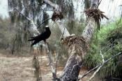 ANOUS-MINUTUS;AUSTRALIA;BIRDS;NESTS;NODDY-TERN;SEABIRDS;Sternidae;TERNS;VERTEBRATES;black-noddy;white-capped-noddy;heron-island