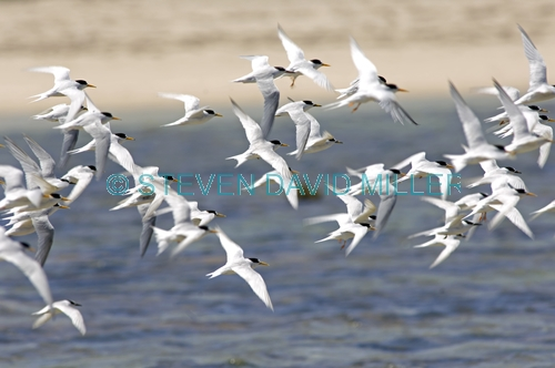 crested tern picture;crested tern;sterna bergii;flock of birds in flight;terns in flight;crested terns in flight;australian tern;australian terns;point quobba;western australia;flock of tern in flight;coastal western australia;steven david miller;natural wanders