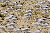 crested-tern-picture;crested-tern;crested-terns;flock-of-crested-terns;sterna-bergii;terns-standing-on-foreshore;group-of-terns;australian-terns;australian-tern;point-quobba;carnarvon;western-australia;coastal-western-australia;steven-david-miller;natural-wanders