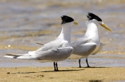 crested-tern-picture;crested-tern;crested-terns;two-crested-terns;sterna-bergii;terns-standing-on-foreshore;pair-of-terns;australian-terns;australian-tern;two;pair;point-quobba;carnarvon;western-australia;coastal-western-australia;steven-david-miller;natural-wanders