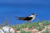 sooty-tern-picture;sooty-tern;tern;australian-tern;australian-terns;sterna-fuscata;lord-howe-island;new-south-wales;steven-david-miller;natural-wanders;birds-of-lord-howe-island;lord-howe-island-birds