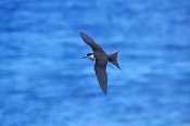sooty-tern-picture;sooty-tern;tern;australian-tern;australian-terns;sterna-fuscata;bird-in-flight;bird-flying;tern-in-flight;tern-flying;sooty-tern-flying;lord-howe-island;new-south-wales;steven-david-miller;natural-wanders;birds-of-lord-howe-island;lord-howe-island-birds