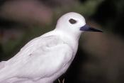 white-tern-picture;white-tern;tern;australian-tern;australian-terns;white-tern-portrait;white;angel;angelic;lord-howe-island;lord-howe-island-birds;birds-of-lord-howe-island;steven-david-miller;natural-wanders
