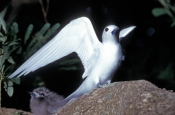 white-tern-picture;white-tern;tern;australian-tern;australian-terns;white-tern-in-tree;white-tern-on-branch;lord-howe-island;lord-howe-island-birds;birds-of-lord-howe-island;steven-david-miller;natural-wanders;angel;white-angel;angelic