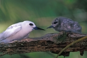white-tern-picture;white-tern;tern;australian-tern;australian-terns;white-tern-chick;tern-chick;chick-in-tree;chick-on-branch;white-tern-feeding-chick;tern-feeding-chick;white-tern-with-chick;lord-howe-island;lord-howe-island-birds;birds-of-lord-howe-island;steven-david-miller;natural-wanders