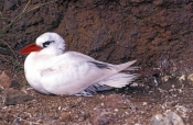 red-tailed-tropicbird-picture;red-tailed-tropicbird;red-tailed-tropicbird;red-tailed-tropic-bird;phaeton-rubricauda;australian-tropicbird;lord-howe-island;birds-of-lord-howe-island;steven-david-miller;natural-wanders
