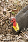 australian-brushturkey;brush-turkey;scrub-turkey;bush-turkey;lane-cove-national-park