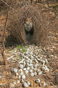 great-bowerbird-bower-picture;great-bowerbird-bower;great-bowerbird;chlamydera-nuchalis;bowerbird-bo