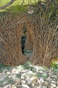 great-bowerbird-bower-picture;great-bowerbird-bower;chlamydera-nuchalis;male-great-bowerbird-bower;a