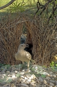 great-bowerbird-picture;great-bowerbird;chlamydera-nuchalis;male-great-bowerbird;great-bowerbird-in-