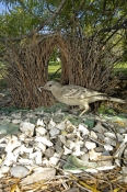 great-bowerbird-picture;great-bowerbird;chlamydera-nuchalis;male-great-bowerbird;great-bowerbird-in-bower;australian-bowerbird;bowerbird;bowerbird-in-bower;bowerbird-constructing-bower;argyle-downs-cottage;lake-argyle;kimberley;north-western-australia;steven-david-miller;natural-wanders