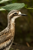 bush-stone-curlew-picture;bush-stone-curlew;bush-curlew;stone-curlew;bush-thick-knee;burhinus-grallarius;bush-stone-curlew-portrait;bird-eye;bird-bill;australian-bird;queensland-bird;large-eye;large-pupil;noctornal-bird;steven-david-miller;natural-wanders;rainforest-dome;cairns