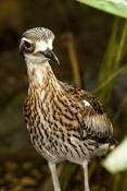 bush-stone-curlew-picture;bush-stone-curlew;bush-curlew;stone-curlew;bush-thick-knee;burhinus-grallarius;bush-stone-curlew-portrait;bird-eye;bird-bill;australian-bird;queensland-bird;large-eye;large-pupil;noctornal-bird;rainforest-dome;cairns;steven-david-miller;natural-wanders