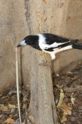 pied-butcherbird-picture;pied-butcherbird;pied-butcher-bird;butcherbird;butcher-bird;cracticus-nigrogularis;pied-butcherbird-with-prey;butcherbird-with-prey;bird-with-prey;butcherbird-killing-snake;butcherbird-with-snake;bird-killing-snake;bird-eating-snake;broome;western-australia;australian-butcherbirds;australian-butcherbird;steven-david-miller;natural-wanders