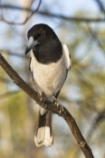 pied-butcherbird-picture;pied-butcherbird;pied-butcher-bird;cracticus-nigrogularis;kimberley;australian-butcherbird;australian-butcherbirds;butcherbird-in-tree;butcher-bird-in-tree;butcherbird-portrait;steven-david-miller;natural-wanders