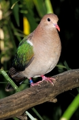 emerald-dove-picture;emerald-dove;chalcophaps-indica;australian-dove;australian-doves;green;banded-bird;bird-with-band;the-australia-zoo;beerwah;queensland;dove;green-wings;steven-david-miller;natural-wanders