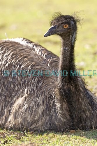 emu picture;emu head;emu portrait;endemic australian bird;emu;dromaius novaehollandiae;emu sitting;emu neck and head;emu closeup;australian bird;immature emu;lone pine sanctuary;brisbane;steven david miller;natural wanders