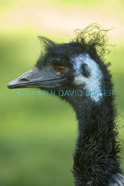 big bird;australian big bird