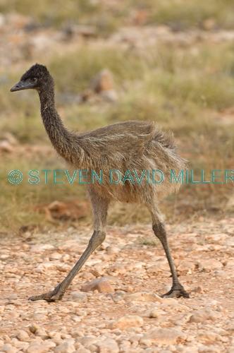 emu picture;emu;emu standing;endemic australian bird;big bird;dromaius novaehollandiae;emu portrait;cape range national park;exmouth;western australia;australian bird;immature emu;immature bird;young emu;steven david miller;natural wanders