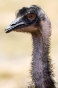 emu-picture;emu;emu-standing;endemic-australian-bird;big-bird;dromaius-novaehollandiae;emu-portrait;juvenile-emu;cape-range-national-park;exmouth;western-australia;australian-bird;emu-head;young-emu;steven-david-miller;natural-wanders
