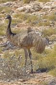 emu-picture;emu;emu-standing;endemic-australian-bird;big-bird;dromaius-novaehollandiae;emu-portrait;cape-range-national-park;exmouth;western-australia;australian-bird;emu-head;steven-david-miller;natural-wanders