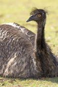 emu-picture;emu-head;emu-portrait;endemic-australian-bird;emu;dromaius-novaehollandiae;emu-sitting;emu-neck-and-head;emu-closeup;australian-bird;immature-emu;lone-pine-sanctuary;brisbane;steven-david-miller;natural-wanders