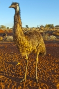 emu;emu-picture;dromaius-novaehollandiae;large-bird;big-bird;australian-bird;bird-standing;emu-standing;full-height-emu;full-height-bird;erldunda;northern-territory;central-australia;australia;endemic-australian-bird;outback;vertical-emu-picture;steven-david-miller