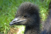 emu-picture;emu-closeup;emu-head;emu-neck-and-head;emu;dromaius-novaehollandiae;immature-emu;zoo-emu;immature-bird;australian-bird;endemic-bird;flightless-bird;adelaide-zoo;adelaide;south-australia;steven-david-miller;natural-wanders