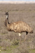 emu-picture;emu;dromaius-novaehollandiae;emu-walking;emu-standing;endemic-bird;australian-bird;big-bird;mungo-national-park;australian-national-parks;new-south-wales;steven-david-miller;natural-wanders