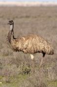 emu-picture;emu;dromaius-novaehollandiae;emu-walking;emu-standing;endemic-bird;australian-bird;big-b