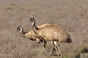 emu-picture;emu;dromaius-novaehollandiae;emu-walking;emu-standing;endemic-bird;australian-bird;big-bird;mungo-national-park;australian-national-parks;new-south-wales;steven-david-miller;natural-wanders;two-emus;emu-pair;two-big-birds