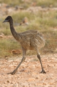 emu-picture;emu;emu-standing;endemic-australian-bird;big-bird;dromaius-novaehollandiae;emu-portrait;cape-range-national-park;exmouth;western-australia;australian-bird;immature-emu;immature-bird;young-emu;steven-david-miller;natural-wanders