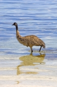 emu-picture;emu;dromaius-novaehollandiae;big-bird;emu-in-water;emu-wading;coffin-bay-national-park;south-australia;bird-bathing;bird-bath;steven-david-miller;natural-wanders