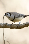 double-barred-finch-picture;double-barred-finch;double-barred-finch;australian-finch;australian-finches;finch;finches;the-wildlife-habitat;taeniopygia-bichenovii;steven-david-miller;natural-wanders