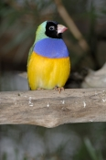 gouldian-finch-picture;gouldian-finch;erythrura-gouldiae;australian-finch;australian-finches;endangered-species;breeding-program;endangered-species-breeding-program;mareeba-wetlands;mareeba;queensland;northeast-queensland;steven-david-miller;natural-wanders