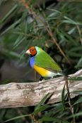 gouldian-finch-picture;gouldian-finch;gouldian-finch-red-faced-morph;goudlian-finch-red-faced-morph;erythrura-gouldiae;australian-finch;australian-finches;endangered-species;breeding-program;endangered-species-breeding-program;mareeba-wetlands;mareeba;queensland;northeast-queensland;steven-david-miller;natural-wanders