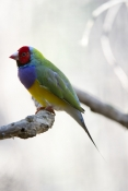 gouldian-finch-picture;gouldian-finch;gouldian-finch-red-faced-morph;goudlian-finch-red-faced-morph;erythrura-gouldiae;australian-finch;australian-finches;endangered-species;breeding-program;endangered-species-breeding-program;wildlife-habitat;queensland;north-queensland;steven-david-miller;natural-wanders